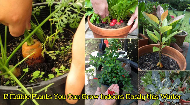 12 Edible Plants You Can Grow Indoors Easily this Winter
