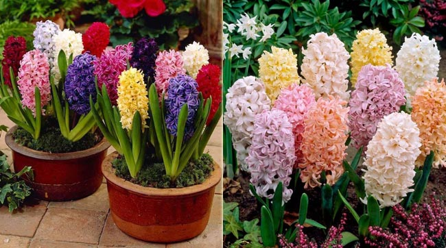 Tips for Growing a Dazzling Hyacinth Mixture