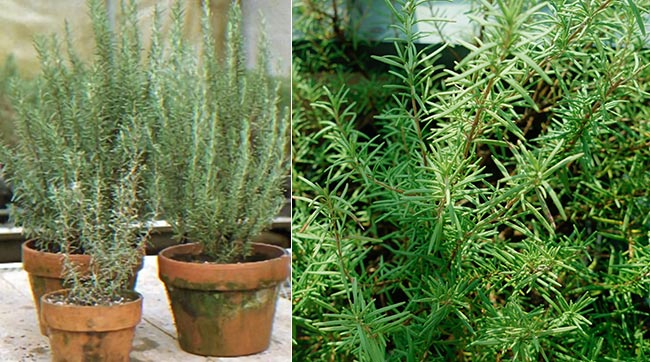 Tips For Growing Rosemary Indoors – How To Grow Rosemary Indoors