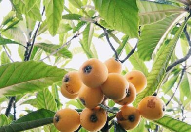 How To Grow Loquat Trees In Your Garden Or Yard