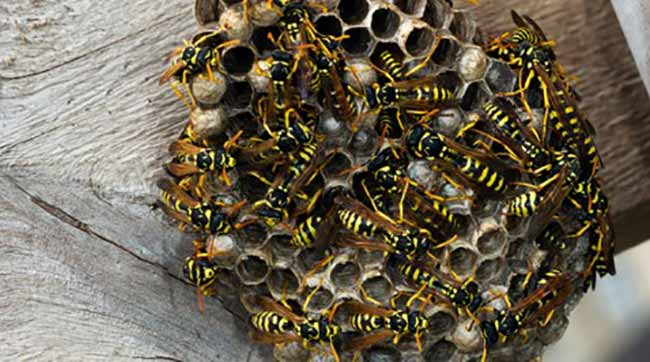 How To Get Rid Of Wasps Naturally Around The House