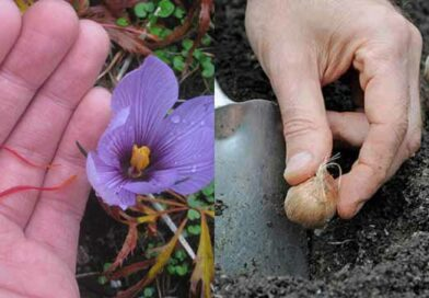 Best Methods of Growing Saffron Easily at Home
